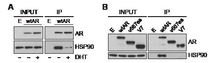 Truncated AR variants do not form stable complexes with HSP90.