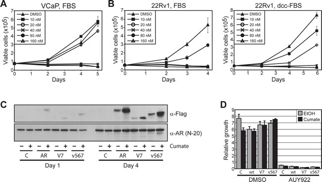 Prostate cancer cells expressing ARVs are sensitive to HSP90 inhibition.