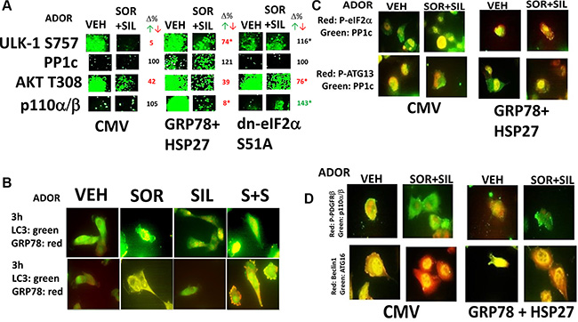 [Sorafenib + sildenafil] regulate the phosphorylation levels of autophagy regulatory proteins.