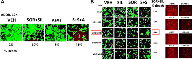 The siRNA knock down of ERBB1 and ERBB3 enhances [sorafenib + sildenafil] lethality against a freshly isolated PDX model of non-small cell lung cancer.