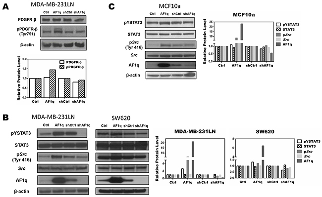 AF1q controls STAT3 activation by modulating Src phosphorylation through the PDGF-B/PDGFR signaling cascade.