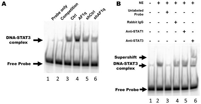 AF1q-induced PDGF-B enhances STAT3 binding activity through the PDGFR signaling cascade.