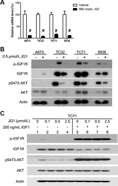 BET inhibition impairs the IGF1 autocrine mechanism.
