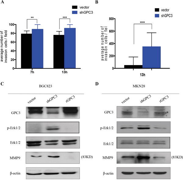 Loss of GPC3 increases the invasion of gastric tumor cells.