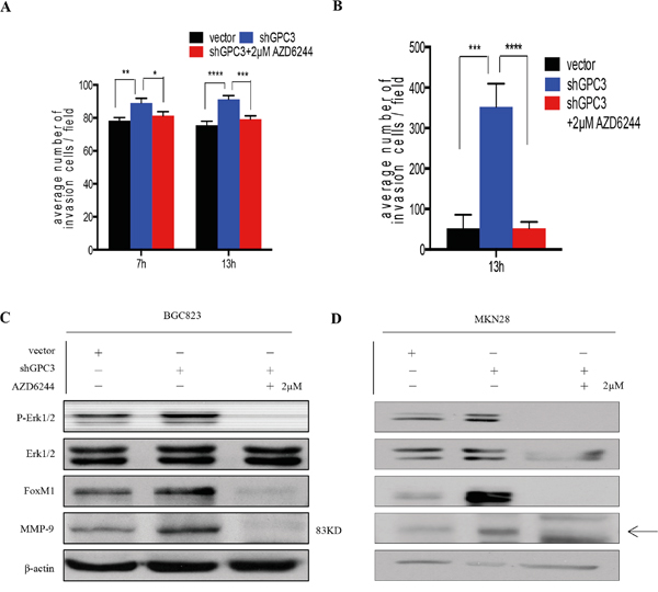 Erk inhibition abrogates the invasion ability of gastric cancer cells with GPC3 knockdown.