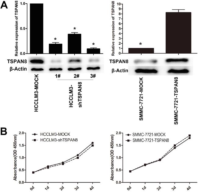 Modulation of TSPAN8 expression had no effect on the proliferation of HCC cells in vitro.