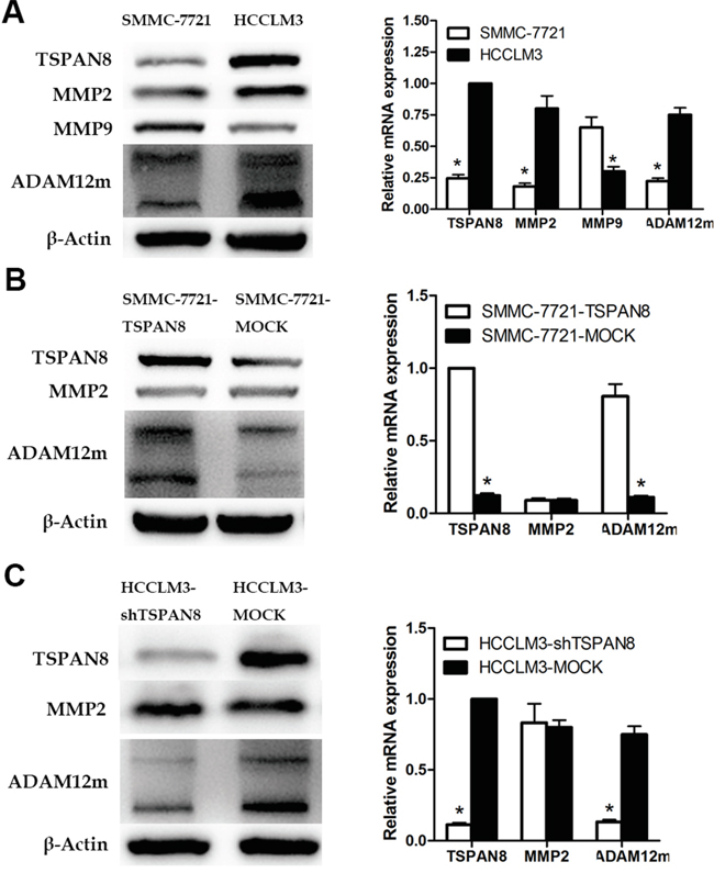 TSPAN8 up-regulated ADAM12m expression.