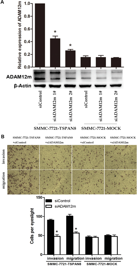 TSPAN8 induced HCC invasion and motility by up-regulating ADAM12m expression.