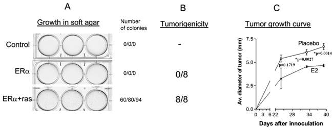 Transformation of HMEC/hTERT cells by ERα and H-ras-V12.