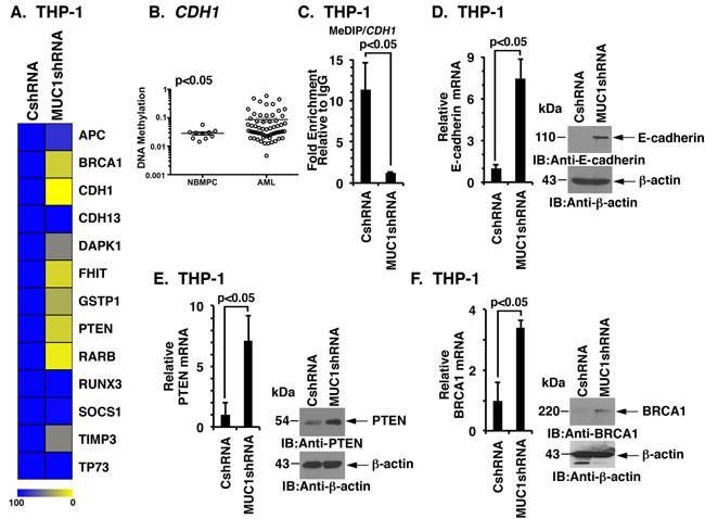 MUC1-C regulates DNA methylation in AML cells.