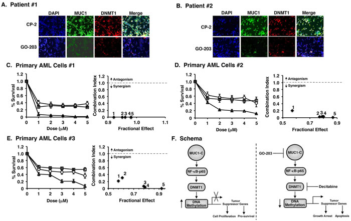 Targeting MUC1-C with GO-203 downregulates DNMT1 expression and synergistically enhances decitabine induced cell death in primary AML cells.