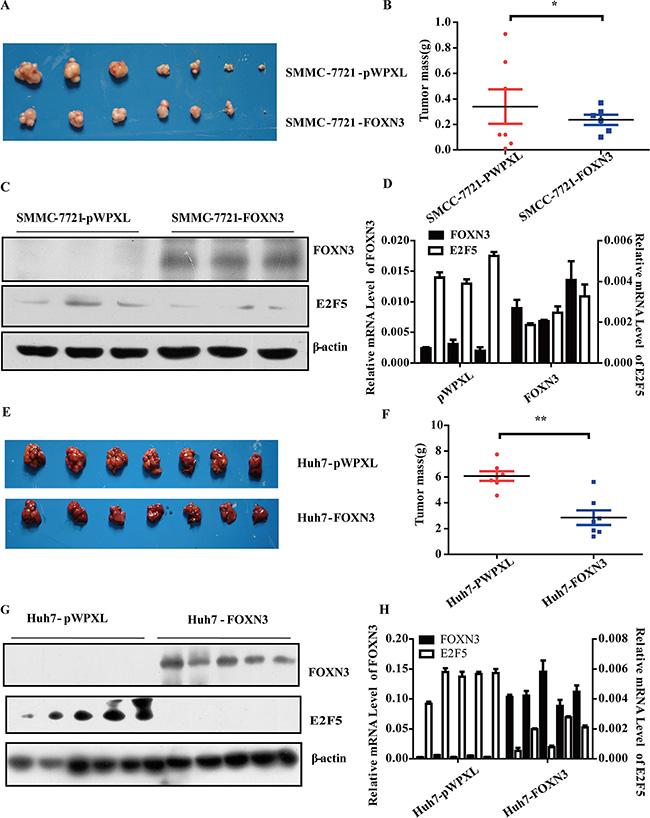 FOXN3 suppresses HCC tumorigenesis in vivo.