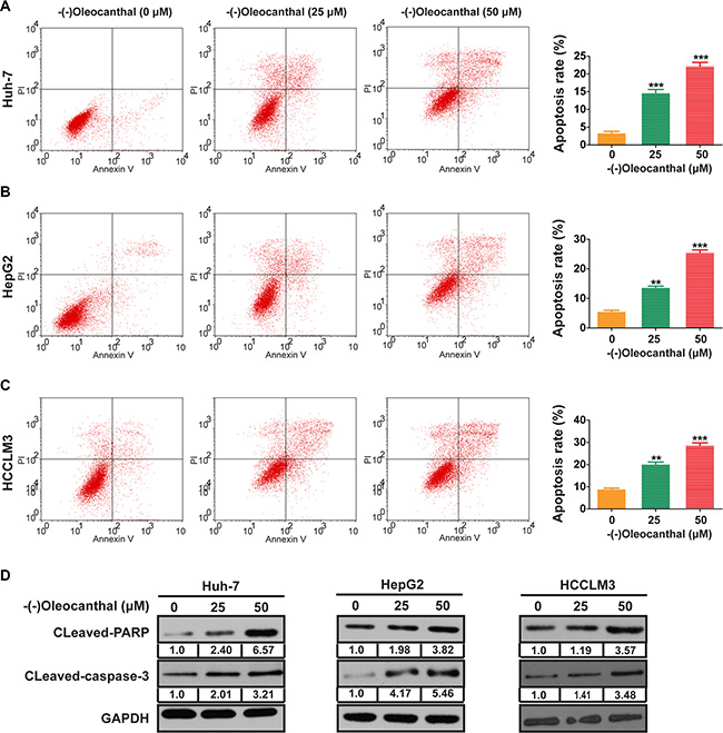 (-)-Oleocanthal induces cell apoptosis in HCC cells in vitro.