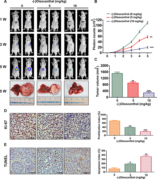 Effects of anti-proliferation and pro-apoptosis by (-)-oleocanthal in an orthotopic tumor model of HCC in vivo.