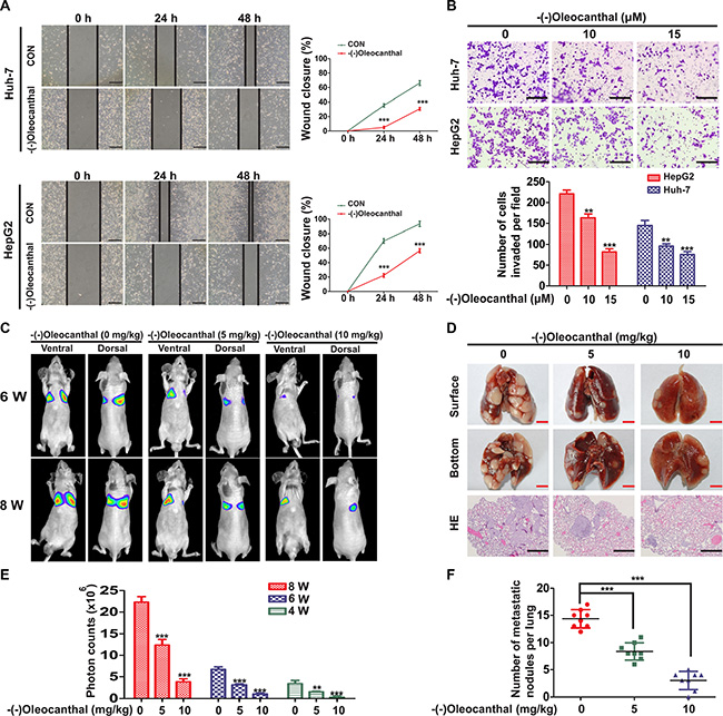 (-)-Oleocanthal inhibits migration and invasion abilities of HCC in vitro and in vivo.
