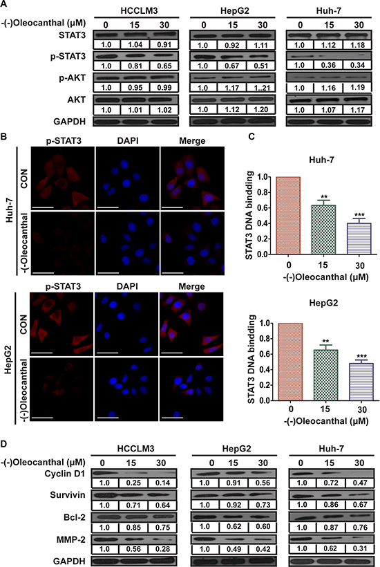 (-)-Oleocanthal suppresses the transcriptional activity of STAT3 and downregulates the expression of its target in HCC cells.
