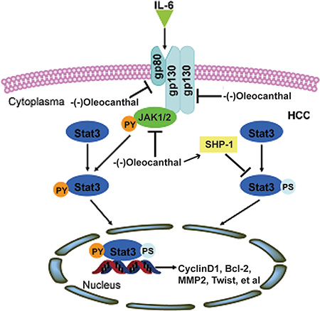A schematic model for the role of (-)-oleocanthal in HCC.