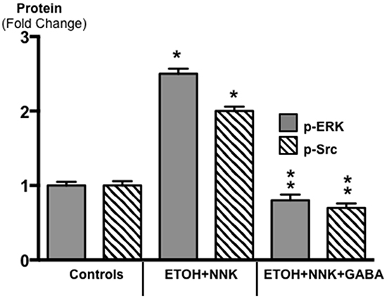Results of ELISA assays for the determination of the phosphorylated forms of signaling proteins ERK and Src in micro-dissected PDAC cells induced by ETOH plus NNK and in exocrine pancreatic cells of controls and hamsters treated prenatally with ETOH plus NNK followed by GABA supplementation starting at 4 weeks of age.