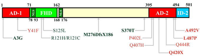 Structural domains of FOXC2 protein.
