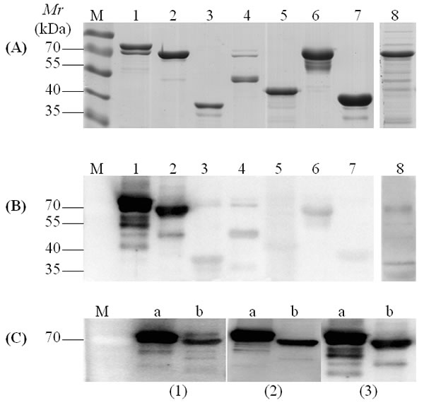 Representative SDS-PAGE and Western blotting assay of recombinant proteins