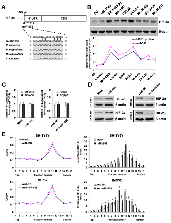 miR-558 facilitates the translation of HIF-2α in NB cells.