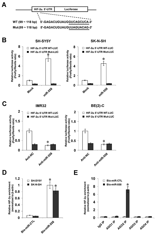 miR-558 binds to the complementary site within HIF-2α 5'-UTR in NB cells.