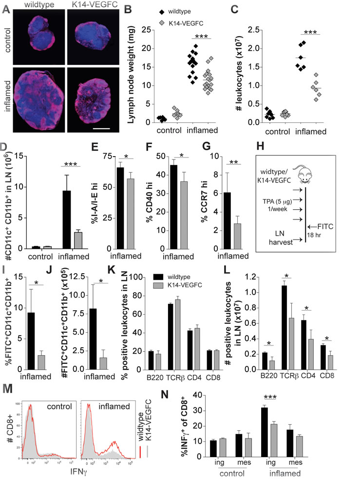 A reduced inflammatory response is observed in skin-draining inguinal LNs of K14-VEGFC mice.