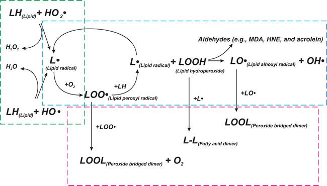 Scheme of lipid peroxidation chain reaction.