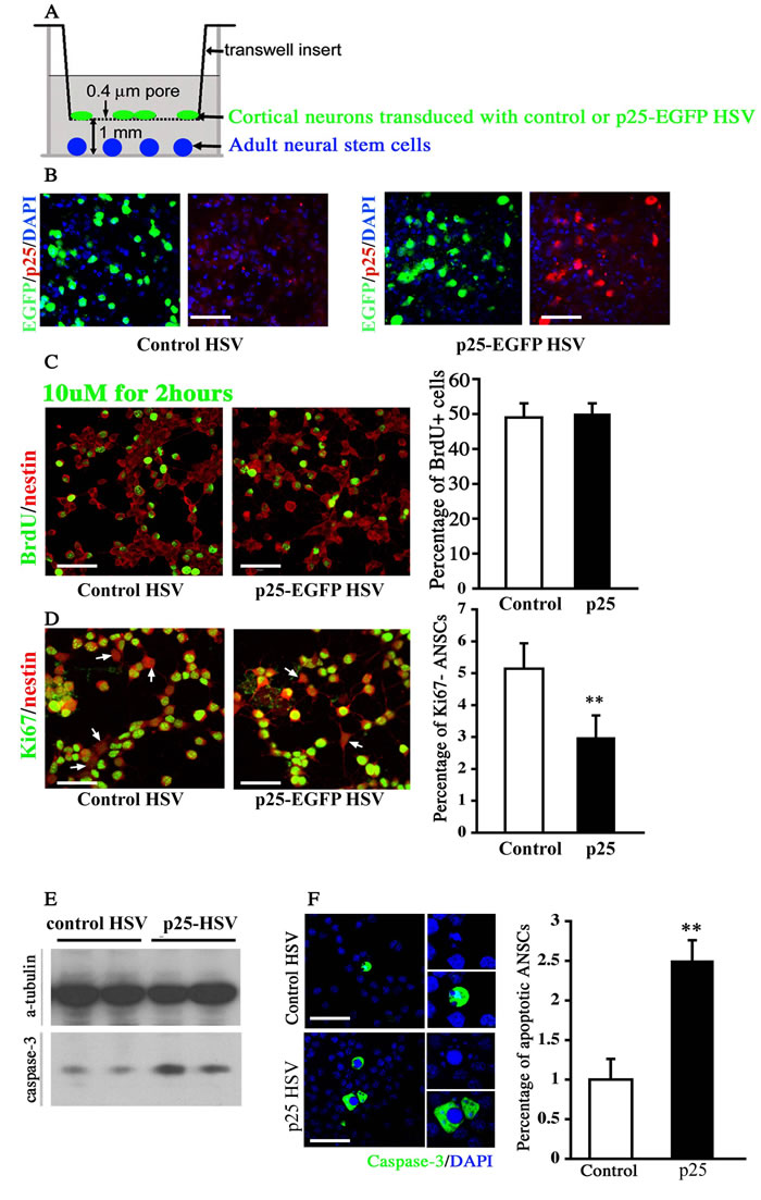 Co-culture assay of neural stem cells with p25-overexpressing neurons.