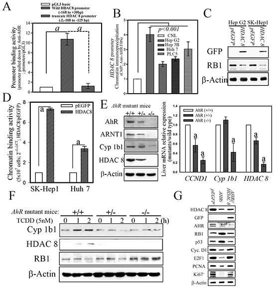 AHR physiologically regulates HDAC8 expression in normal mouse hepatocytes.