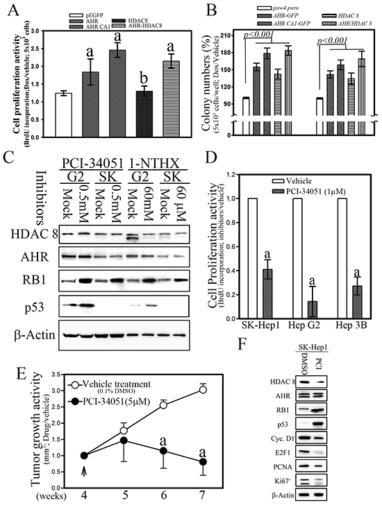 Ectopic expression of AHR and HDAC8 is essential for cell proliferation and transformation in hepatoma cells.