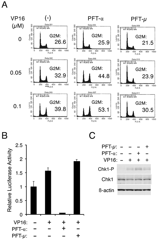 p53 may down regulate Chk1-mediated G2/M checkpoint activation through its transcription-dependent function.