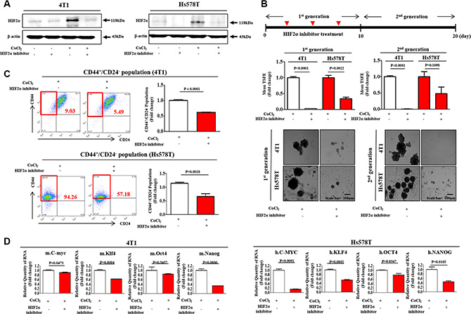 HIF2α inhibitor 76 suppressed CoCl2-induced immature phenotypic characteristics of BCSCs.
