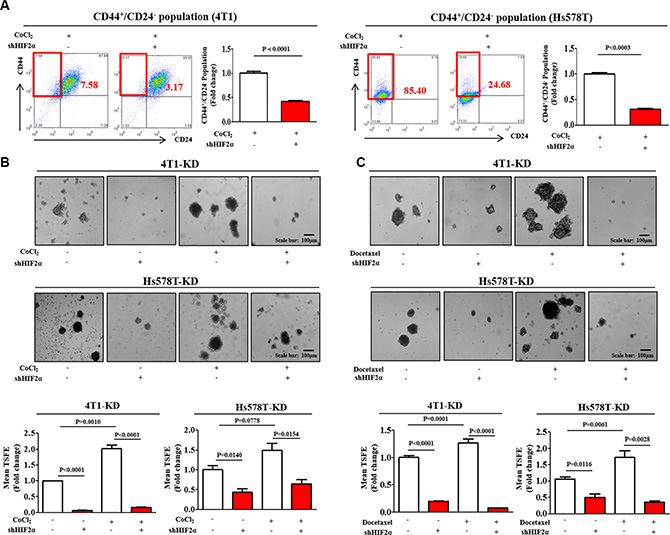 HIF2α knockdown suppresses BCSC growth and chemo-resistance.