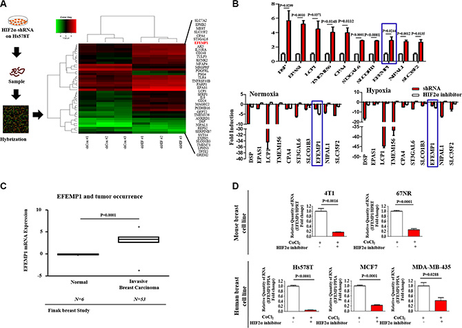 The expression levels of EFEMP1 are significantly suppressed by HIF2α knockdown.