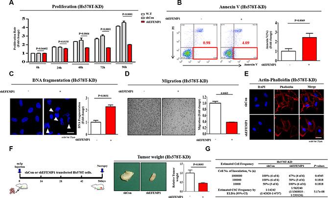 The effects of EFEMP1 knockdown on tumor growth, apoptosis and metastasis.