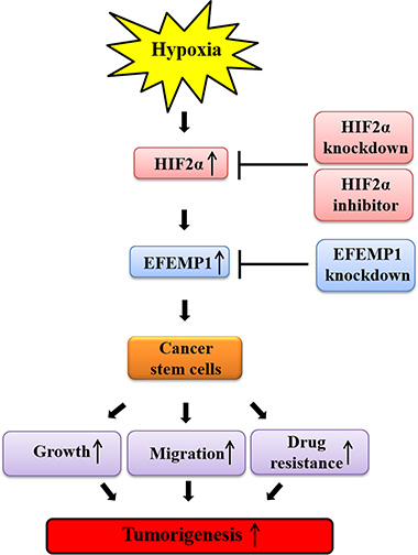 Schematic summary of the role of the HIF2α/EFEMP1 cascade in the development of metastatic breast cancer.