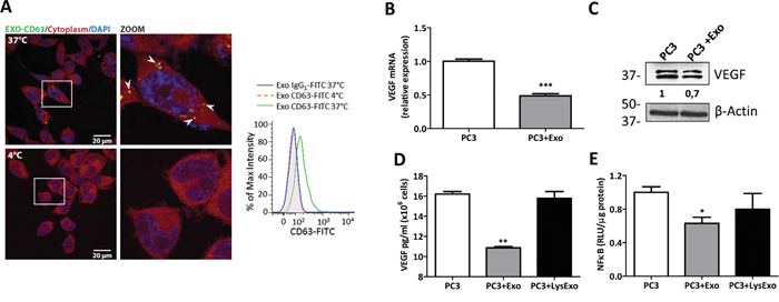 MenSCs-derived exosomes down-regulate VEGF and FGF expression and NF-κB activity.