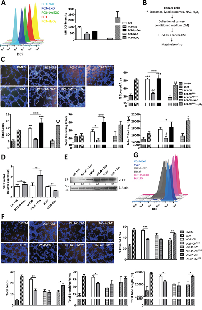 Inhibition of ROS by MenSCs-derived exosomes reduce angiogenesis in vitro.
