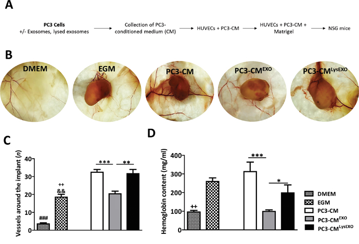 MenSCs-derived exosomes inhibit angiogenesis in vivo.