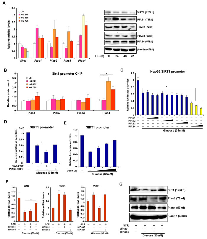 Increased PIAS4 expression accompanies repression of SIRT1 in cultured hepatocyte.