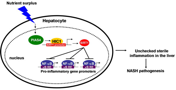 A schematic model depicting the potential role of PIAS4 in NASH pathogenesis.