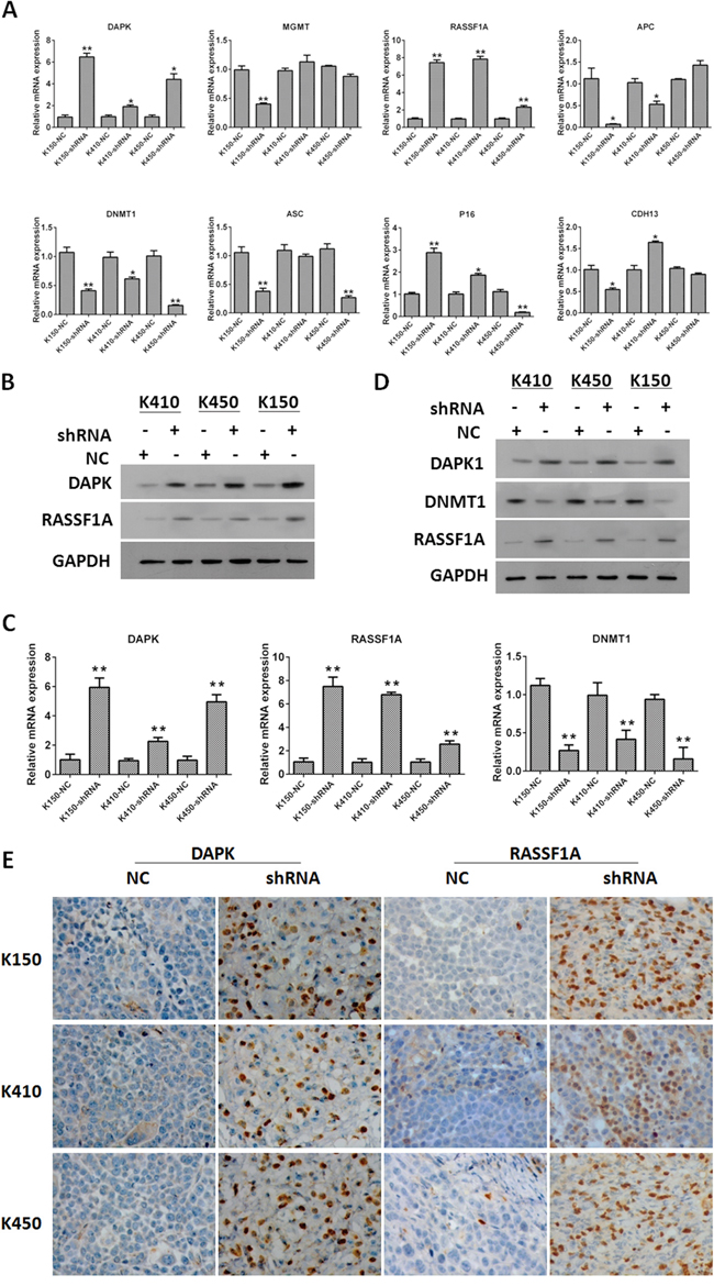 Silencing DNMT1 up-regulated expression of RASSF1A and DAPK.