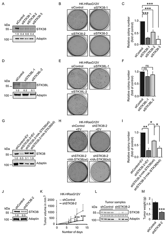 STK38 is required for anchorage independent growth and tumourigenicity of HRas-transformed human cells.