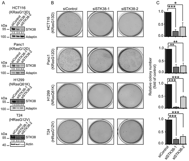 STK38 supports the anchorage independent growth of Ras-driven human cancer cell lines.