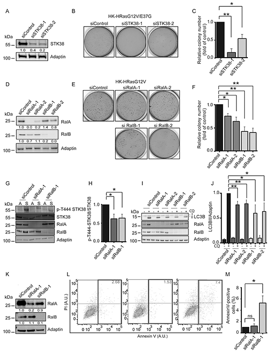 Ral GTPases support anchorage-independent growth and detachment-induced autophagy at least partly through STK38 as effector.