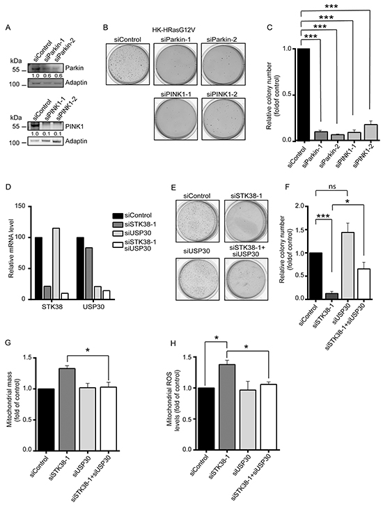 The mitophagy regulators Parkin, PINK1 and USP30 are linked to STK38 in supporting anchorage-independent growth of Ras-transformed human cells.
