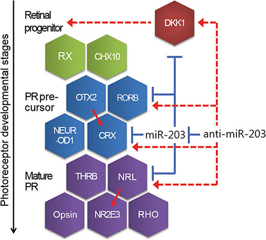 A schematic showing the developmental steps and genes relevant for neural retina development.