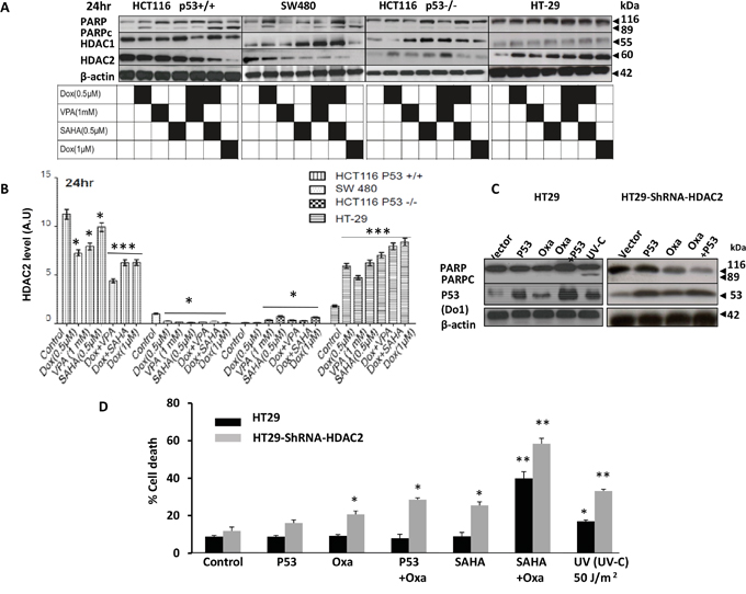 Characterisation of HDAC2 expression levels in distinct CRC cell lines and its relationship with P53 and resistance to HDACis combined with DNA damaging agent doxorubicin.