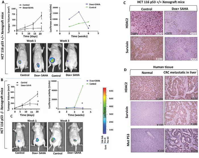 In vivo imaging and validation of the effect of combined treatment by liposome-encapsulated SAHA/Dox in xenograft mice.